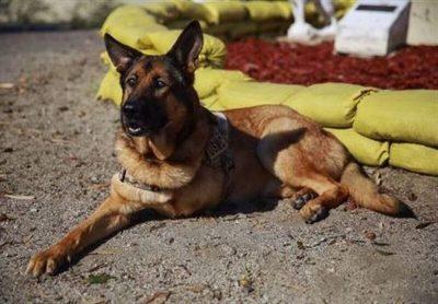 Lucca the German Shepherd/Belgian Malinois service dog
