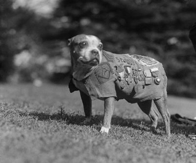 Sgt. Stubby the American Pit Bull Terrier