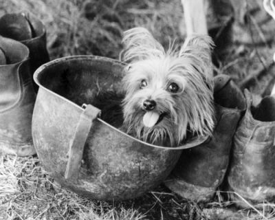 Smoky the Yorkshire Terrier
